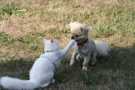 The cat beats the dog